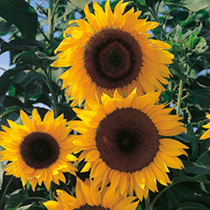 A superb sunflower which has F1 hybrid vigour and is early flowering. The dramatic golden yellow flowerheads, 30cm (12) in diameter are borne proudly