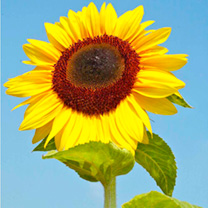 Click to view product details and reviews for Sunflower Seeds Titan.