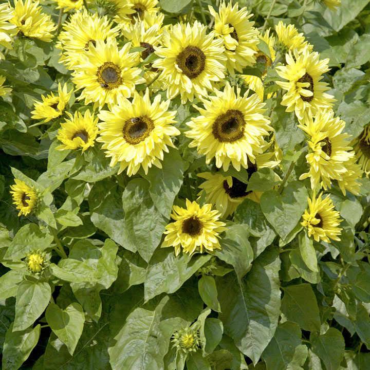 Sunflower Plants - Garden Statement