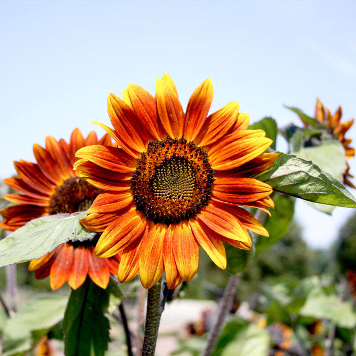 Sunflower (Organic) Seeds - Medium Red Flower
