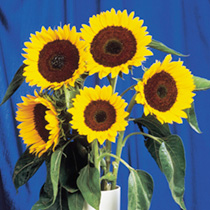 Sunflower Seeds - F1 Full Sun