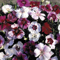 Dianthus Seeds Sugar Baby Mix