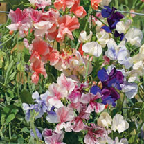 Our own unique blend of the most strongly scented varieties, tested over a number of years at our trials ground. It includes all the sweet pea colours
