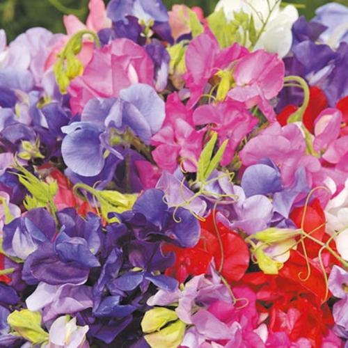 Sweet Pea Plants - Long Stem Mix (Spencer type)