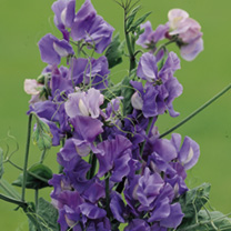 Sweet Pea Seeds - Exhibitors Collection