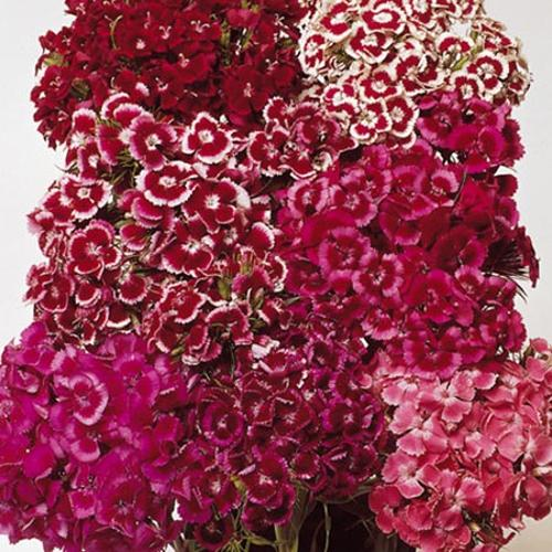 Sweet William Seeds - Auricula-Eyed Mix