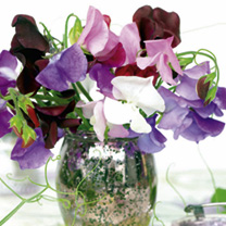 Sweet Pea Seeds Long Stem Mixed