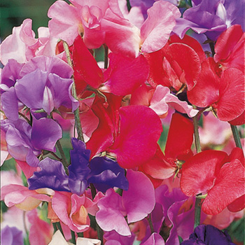 Start to sow Sweet Peas