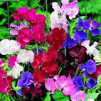 A bright colour range that make excellent cut flowers. Seed selected from first-class sweet peas, many of them fragrant. HA Hardy annual. Height 1. 8m