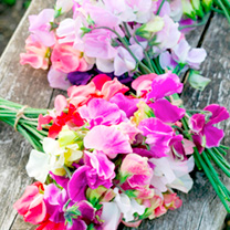 Click to view product details and reviews for Sweet Pea Seeds Distant Horizons.