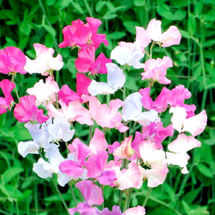 Sweet Pea Seeds - Amethyst & Orchids