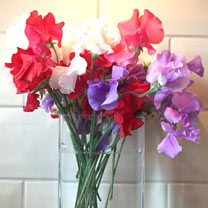 Sweet Pea Plants - Patriotic Mix (Spencer type)
