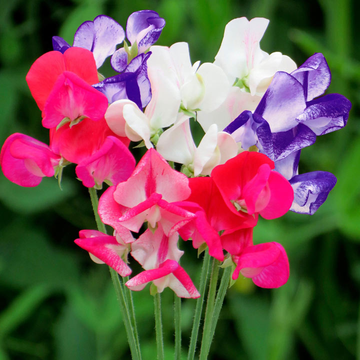 Sweet Pea Seeds - Fragrant Boundary