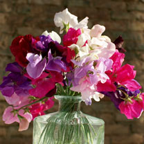 Sweet Pea Seeds Supersonic