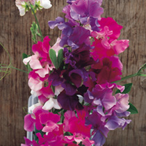 Sweet Pea Seeds - Melody Mix