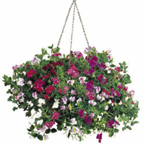 Developed from the popular Cupid variety, this impressive mixture is scented, has a cascading habit, and contains five heavenly colours: carmine/rose,