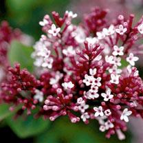 Syringa Plant - Tinkerbelle