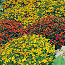 Click to view product details and reviews for Tagetes Tenuifolia Seeds Starfire Mix.