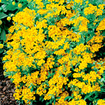 Click to view product details and reviews for Tagetes Tenuifolia Pumila Seeds Lucida.