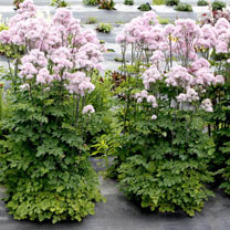 Thalictrum Plant - Nimbus Pink