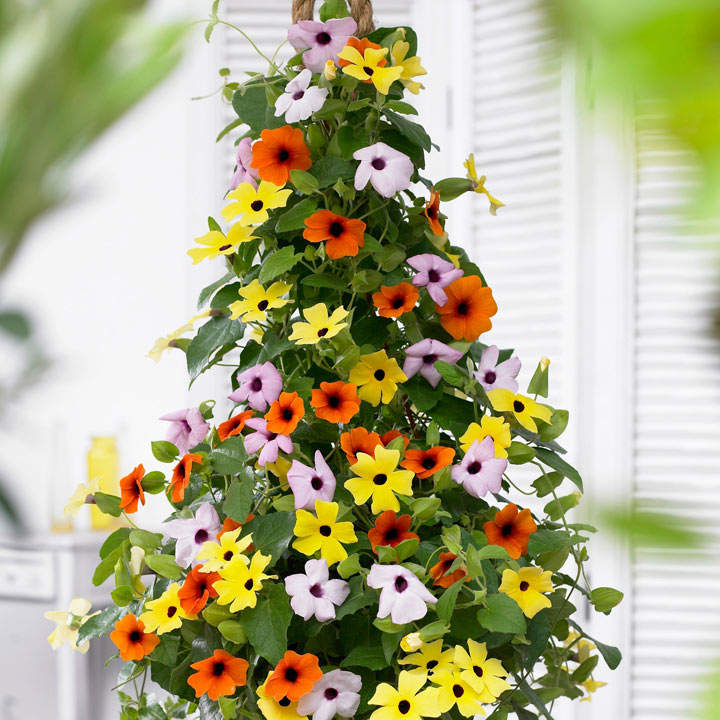 Thunbergia Plants - Collection