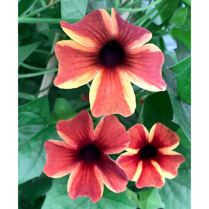 Thunbergia Plants - Sunny Susy Amber Stripe