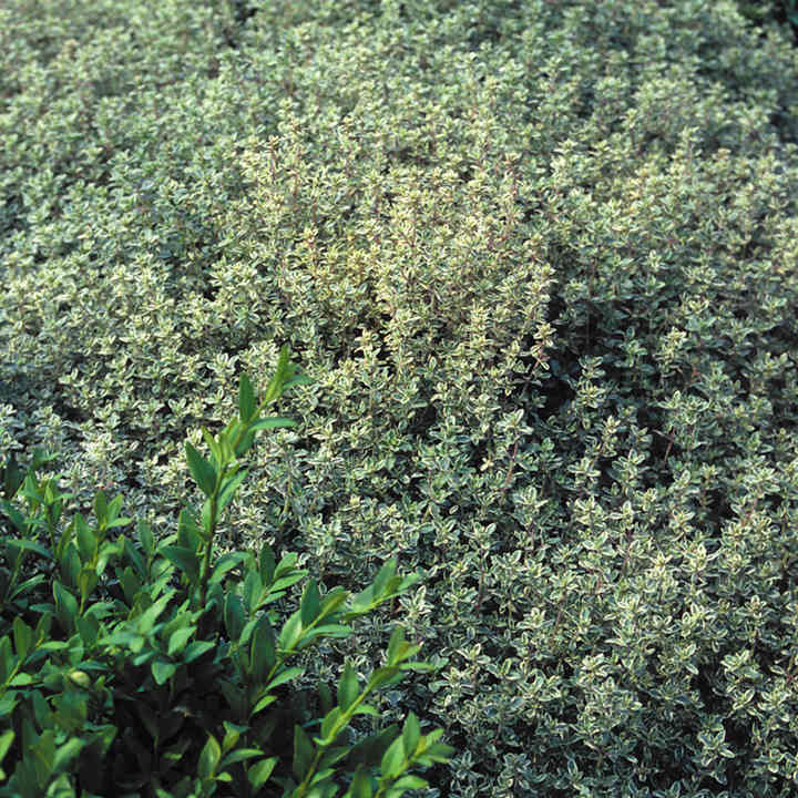 Herb Plant - Thyme Silver Queen