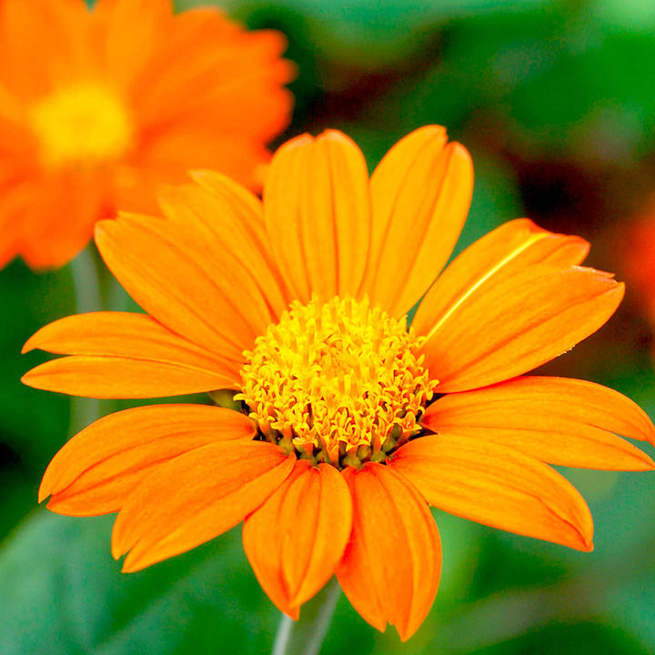 Tithonia Seeds Orange View All Flower Seeds Flower Seeds