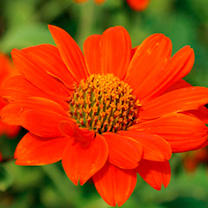 Tall plants for the back of a border with large, single, orange/scarlet, dahlia-like blooms. Easy to grow and fast growing, flowers for garden decorat