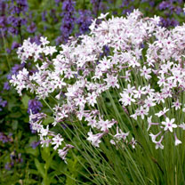 Tulbaghia Plant - Purple Eye