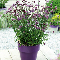 Verbena Plants - bonariensis Lollipop