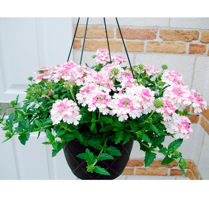 Verbena Rose White 6