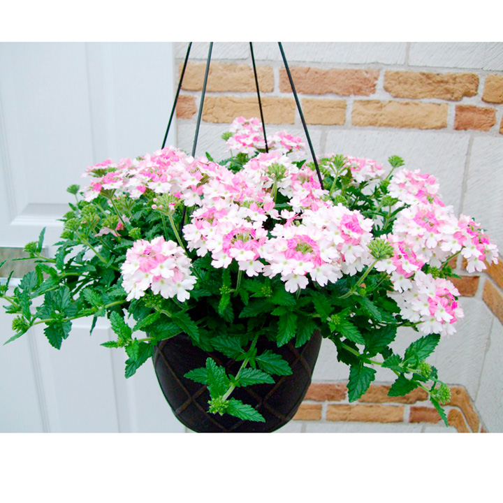 Verbena Plants - Rose White