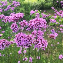 Verbena bonariensis Plant