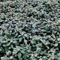 Viburnum globosum Plant - 'Jermyns Globe'