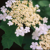 Viburnum trilobum Plant - Wentworth