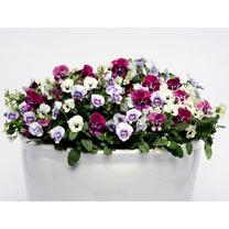 Viola Plants - Raspberry Sundae