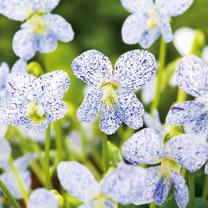 Click to view product details and reviews for Viola Seeds Freckles.