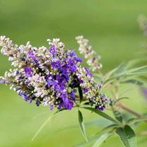 Vitex agnus-castus 'Blue Puffball' FIRST EDITIONS
