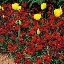 Wallflower Seeds - Fire King
