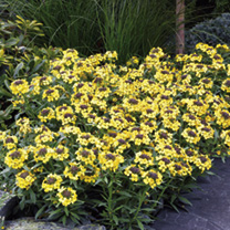 Wallflower Seeds - Canary