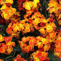 Wallflower Plants - Sugar Rush Orange