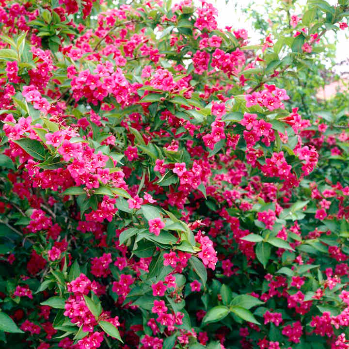 weigela bristol ruby view all trees and shrubs trees. Black Bedroom Furniture Sets. Home Design Ideas