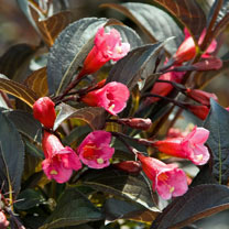 Weigela florida Plant - Alexandra