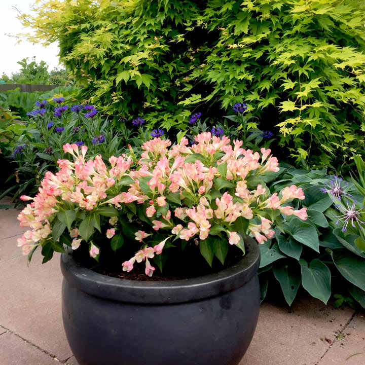 Weigela Plant - All Summer Peach