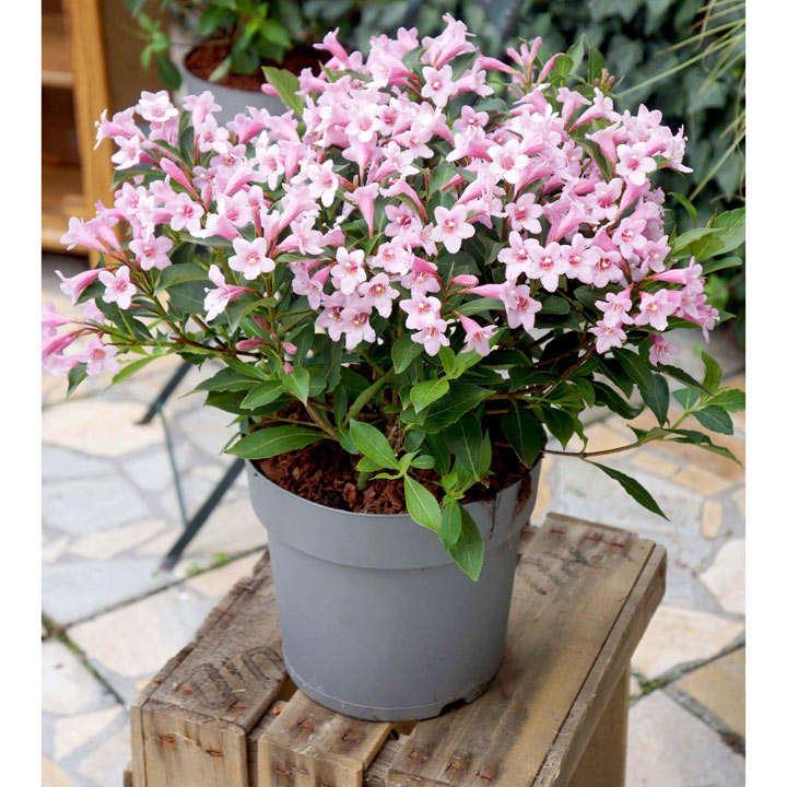 Weigela florida Plant - Pink Poppet®