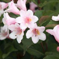 Weigela florida Plant - Polka