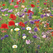 Wild Flower Seeds - Annual Mix