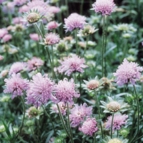 Field Scabious Seeds