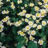 Predators Seeds - Flower Mix